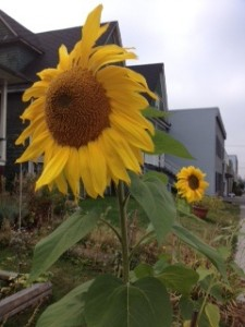 yellow sunflower - Marla Gilsig Family Lawyer Vancouver